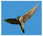 Image of peregrine in flight